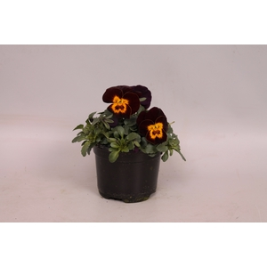 Viola cornuta F1 Red with Yellow Face
