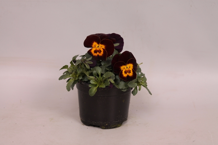 <h4>Viola cornuta F1 Red with Yellow Face</h4>