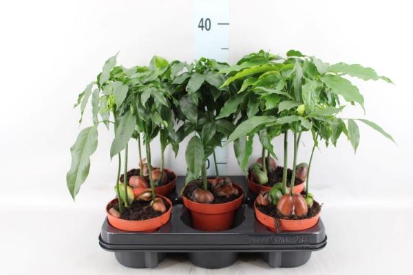 <h4>Castanospermum australe 'Magnifico'</h4>