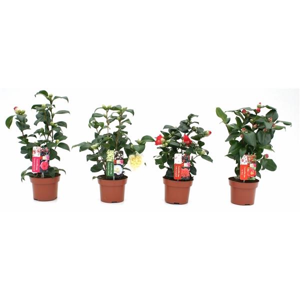 <h4>Camellia jap. mix</h4>