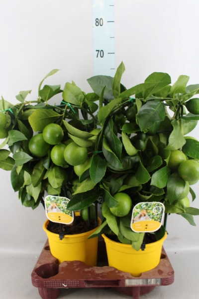 <h4>Citrus meyeri 'Meyer'</h4>