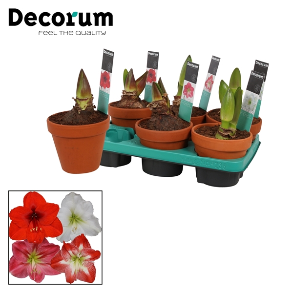 <h4>Hippeastrum Mix 2 Knop TC Steen OP (Decorum)</h4>