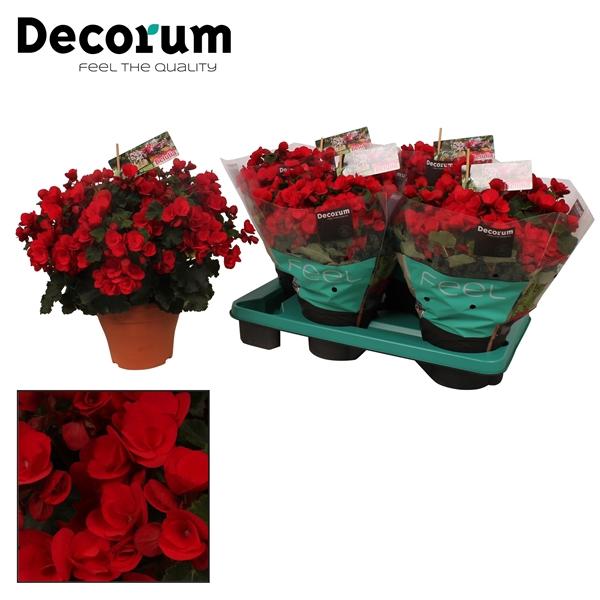 <h4>Begonia ''betulia'' red</h4>