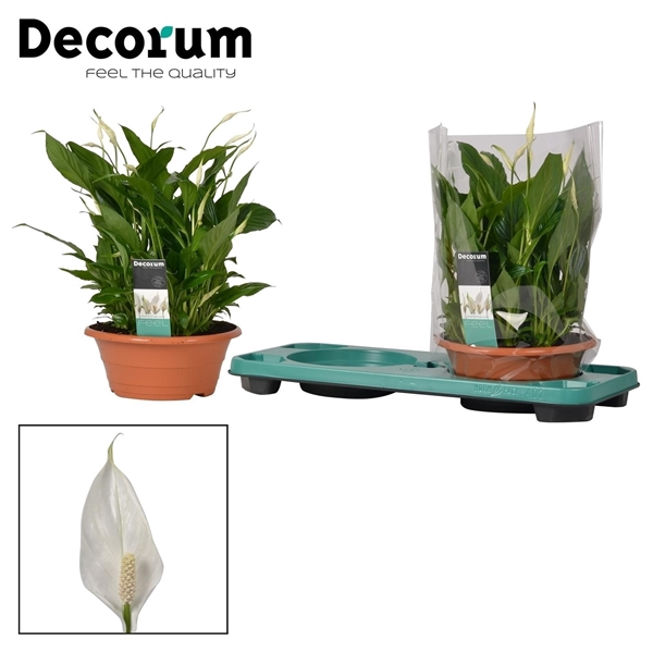 <h4>Spathiphyllum 23 cm Bellini schaal Decorum</h4>