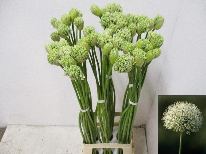 <h4>Allium Hirtifolium</h4>