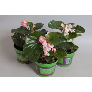 Begonia Braveheart Berose