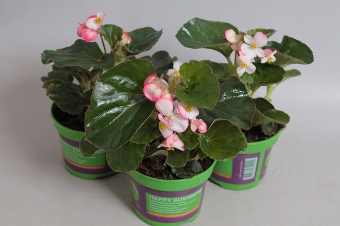 <h4>Begonia Braveheart Berose</h4>