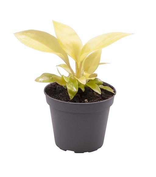 <h4>Philodendron Lemon Lime </h4>