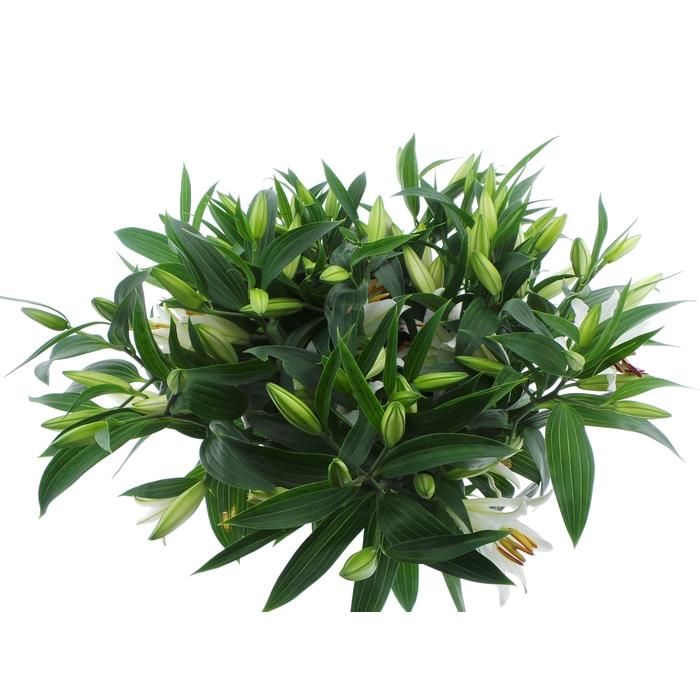 <h4>Bouquet Mono Lelie Oriental Wit x5 60cm</h4>