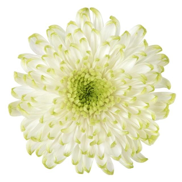 Chrysanthemum monoflor rossano lima