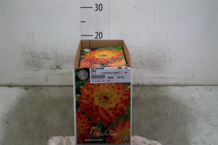 <h4>Bol Dahlia Procyon 10 Zakjes X1</h4>