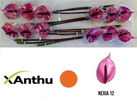 <h4>Anth A Nexia</h4>
