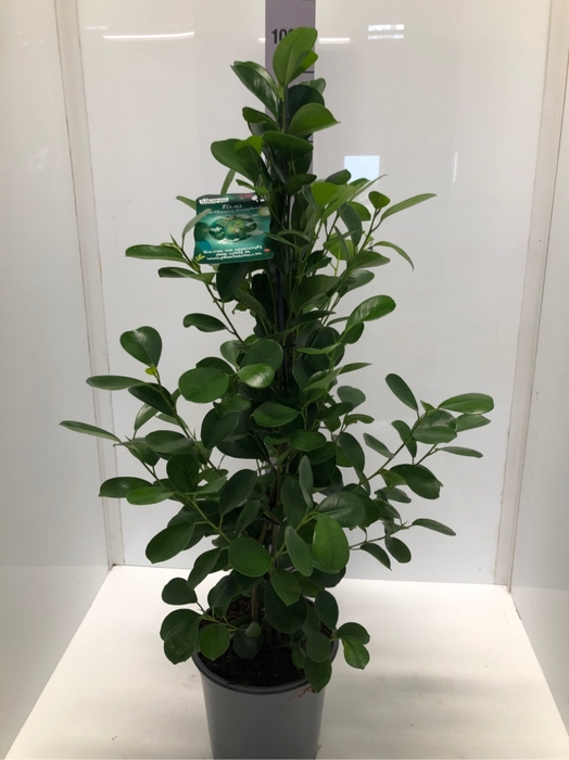 <h4>Ficus Microcapra Moclame 21Ø 105cm</h4>