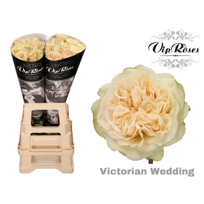 <h4>R GR VICTOR WEDDING+ x 20</h4>