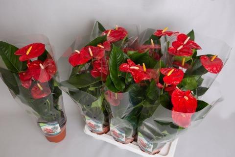 <h4>Anthurium (Andreanum Grp) Aloha Red</h4>