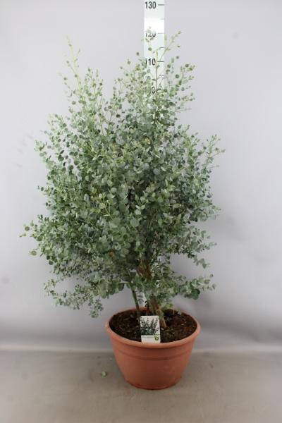 <h4>Eucalyptus gunnii</h4>