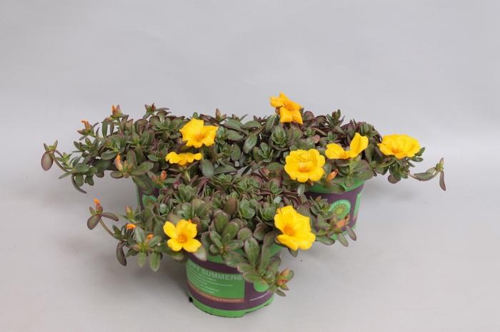 <h4>Portulaca Yellow</h4>