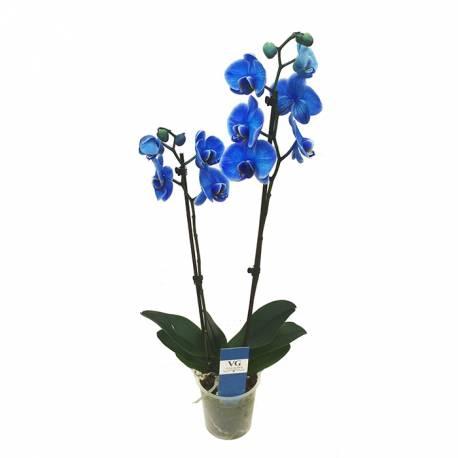 <h4>PHALAENOPSIS BLUE (2 varas)</h4>