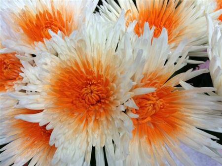 <h4>Chr G Ana White + Orange</h4>