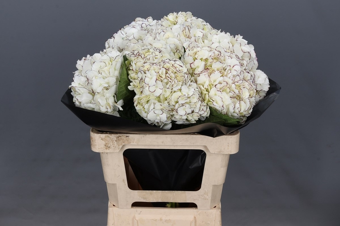 <h4>Hydrangea White Purple Stripes</h4>