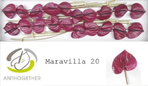 <h4>Anthurium andr. 'Maravilla'</h4>