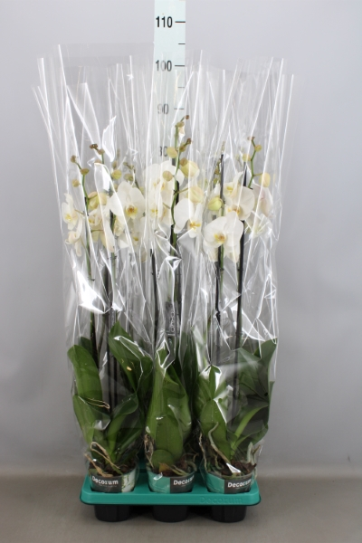 <h4>Phalaenopsis  'Ant Tokyo'</h4>