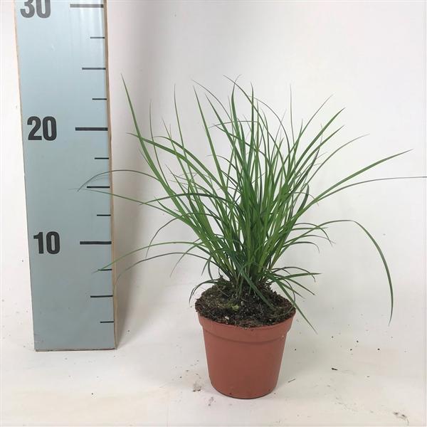 <h4>Carex brunnea (groen) p8</h4>