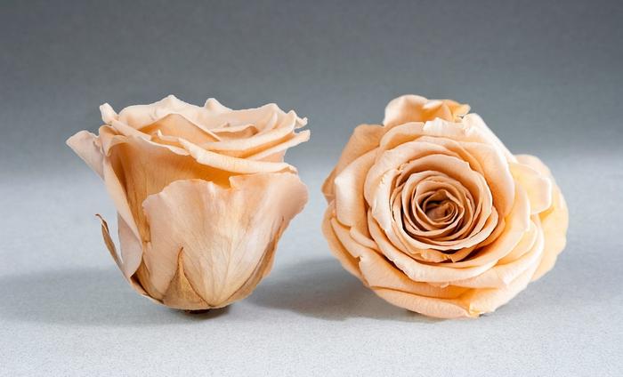 <h4>Rose stab. XL Cha-01</h4>