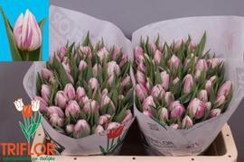 <h4>Tulip single Flaming Prince</h4>