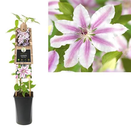 <h4>Clematis Nelly Moser</h4>
