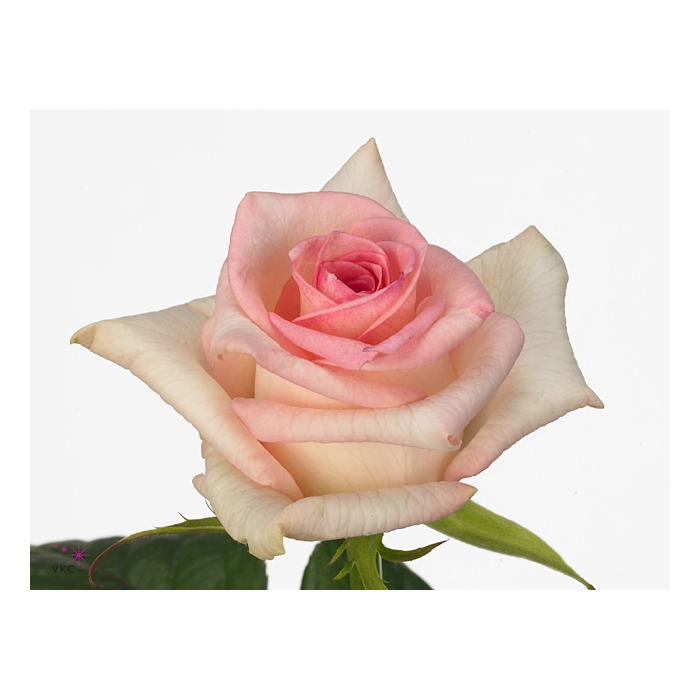 <h4>Rosa Gr. Senorita</h4>