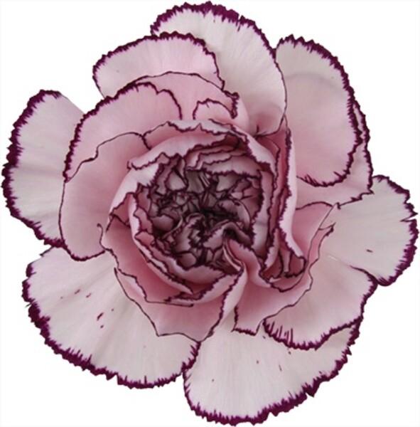 <h4>Dianthus st. Mudah</h4>