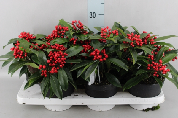 <h4>Skimmia japon. ssp  reevesiana</h4>
