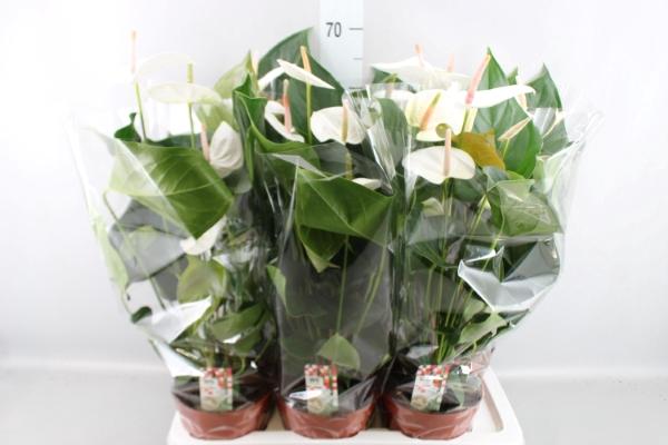 <h4>Anthurium andr. 'Sumi'</h4>