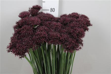 <h4>Allium Atropurpureum</h4>