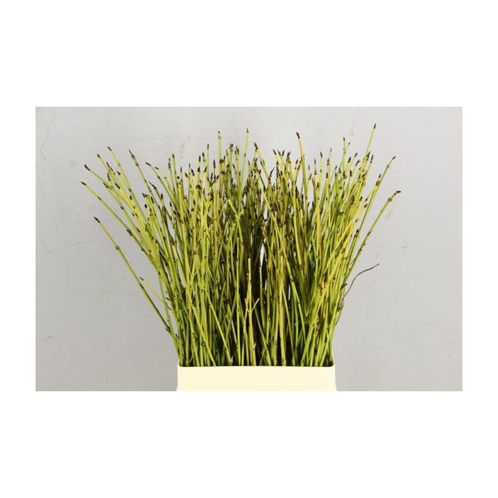 <h4>Cornus Flaviramea Groen/geel</h4>