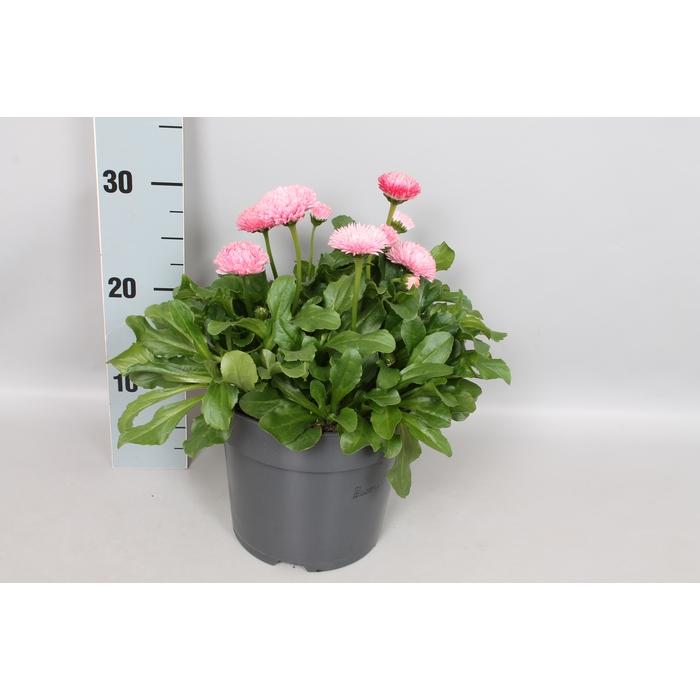 <h4>Bellis perennis 19 cm Pomponette Rose</h4>