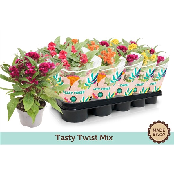 <h4>Celosia Cristata Twisted mix</h4>