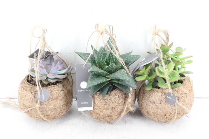 arr. Kokoplant - Succulenten mix