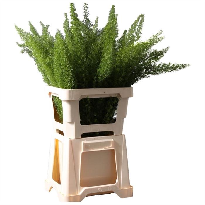 <h4>Asparagus dens.Meyers</h4>