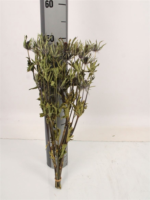 <h4>Dried Flowers Eryngium Blue Angel</h4>
