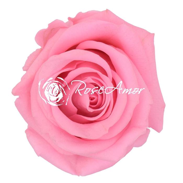 <h4>PRESERVED ROSA MINI WARMI PIN 04</h4>