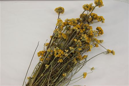 <h4>Dried Lonas Yellow</h4>