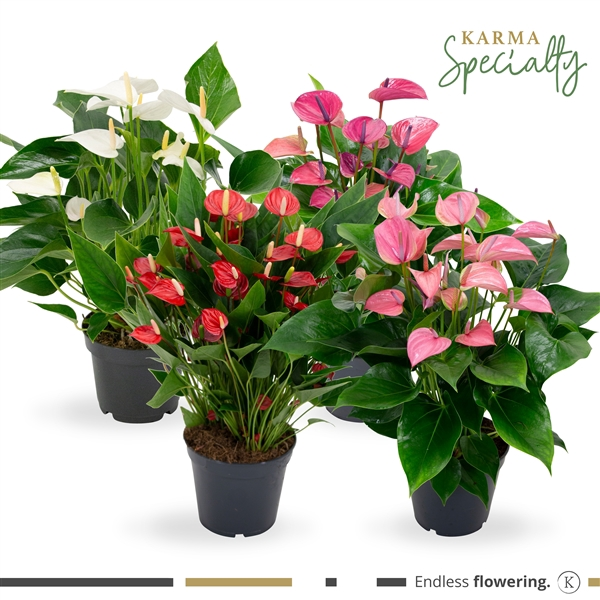 <h4>KARMA - Specialty Mix (multiflora) Anthurium | 17cm</h4>