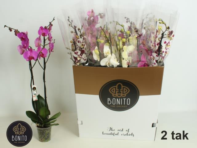 <h4>Phalaenopsis mix 12Ø 75cm 2 pędy 20+ kwiatów k</h4>