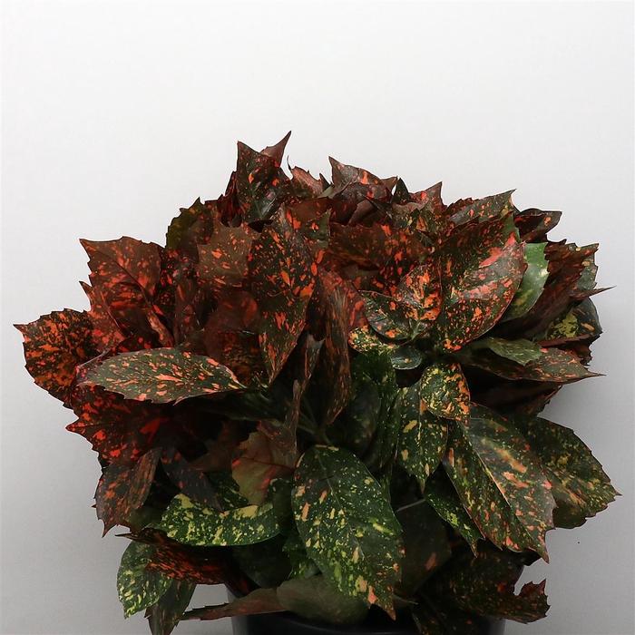 <h4>Aucuba Japonica Red</h4>
