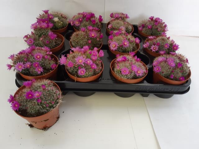 <h4>Cactus Flowering 8,5Ø 10cm</h4>