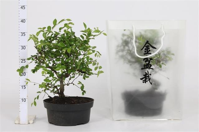 <h4>Ficus Microcarpa Ginseng 15Ø 39cm</h4>