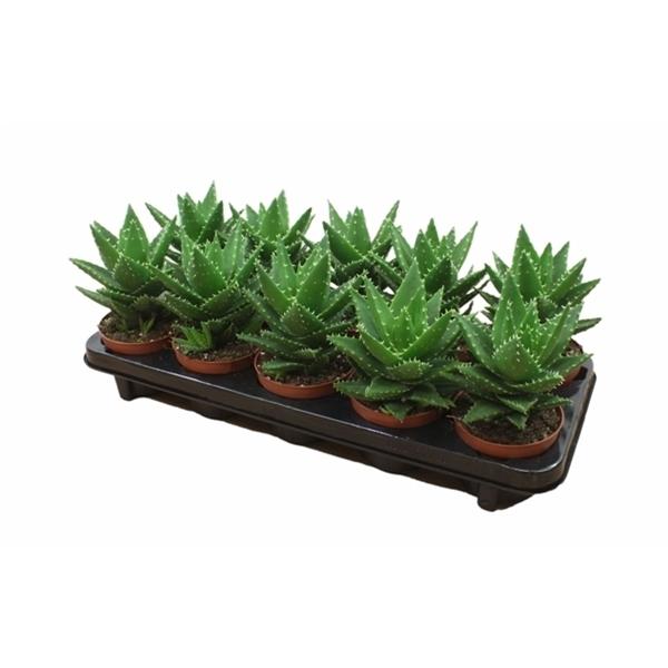 <h4>Aloe Mitriformis - Premium</h4>