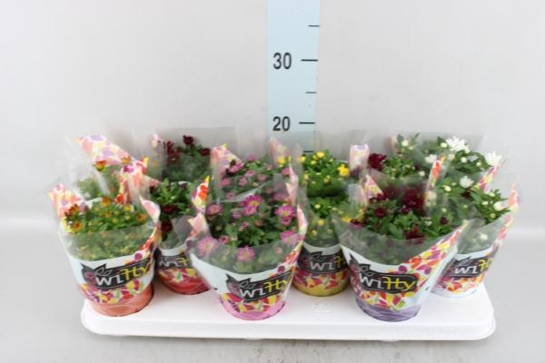 <h4>Chrysanthemum  'Swifty'  ...mix</h4>